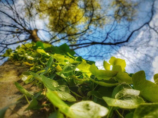 Live For The Story Smartphonephotography Focus On Foreground Beuty Of NatureBluesky No People Photography Naturephotography S7 Pro Nature_collection Nature Blue Sky Green Beginnings Spring To The Sky To The Top Galaxy S7 Blue Foliation