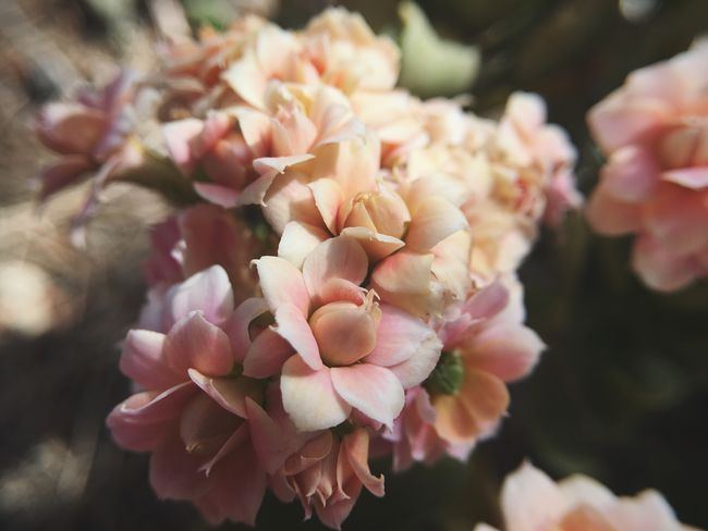 Flower Petal Beauty In Nature Fragility Nature Freshness Close-up Flower Head Focus On Foreground Day Pink Color Growth Outdoors No People Plant Blooming Macro Succulents Succulent Succulent Plant California Drought Resistant Garden Soft Focus
