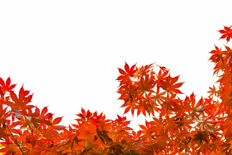 Low angle view of maple leaves against clear sky