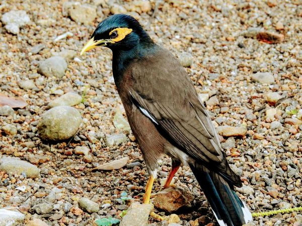 A myna bird taking a stroll looking for some food. Bird Animal Themes One Animal No People Nature Perching Close-up Day Myna Outdoors India