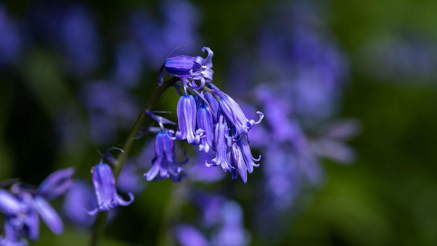 Close-up of purple lavender flower