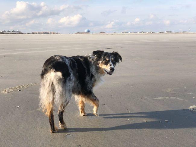 Zara 👁 Aussies Winter Beach Dog Domestic Animals Pets Animal Themes Sky Sand Beach