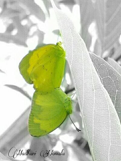 Common name: The common grass yellow, Scientific name: Eurema hecabe contubernalis Butterflies Butterflies Under A Leaf Beauty In Nature Beautiful Nature Green Butterfly Light Green Color Light Green Green Green Color Colorsplash Mobile Photography Garden Photography EyeEm Nature Lover EyeEm Gallery EyeEm Best Shots - Nature EyeEm Best Edits The Common Grass Yellow Eurema Hecabe Contubernalis Two Is Better Than One