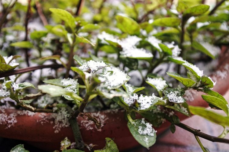 Snow and mint = light mojito. Mint Leaves Mint Plant Snow Snow Day Fragility Beauty In Nature Winter Close Up Cold Temperature Green My Balcony Close-up Plant Plant Life Botany Weather Condition Covering Frozen Season  Cold