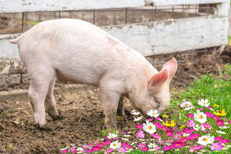 Side view of pig at farm