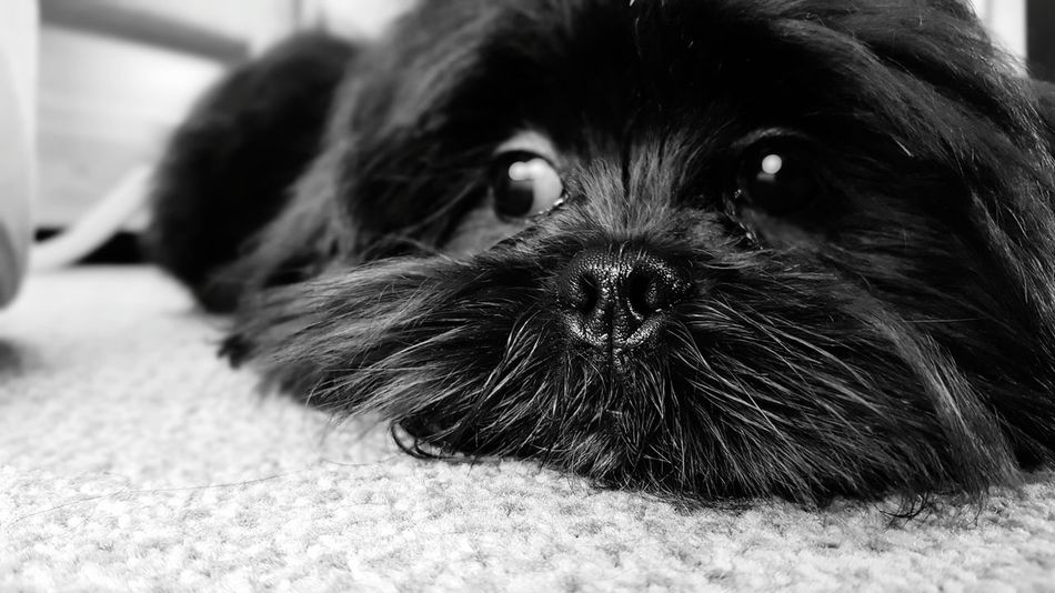 Pets Dog Black Color One Animal Domestic Animals Animal Themes Mammal Portrait Looking At Camera Indoors  Close-up No People Day Lhasa Apso Lhasa Apso Puppies Pet Portraits EyeEm Ready