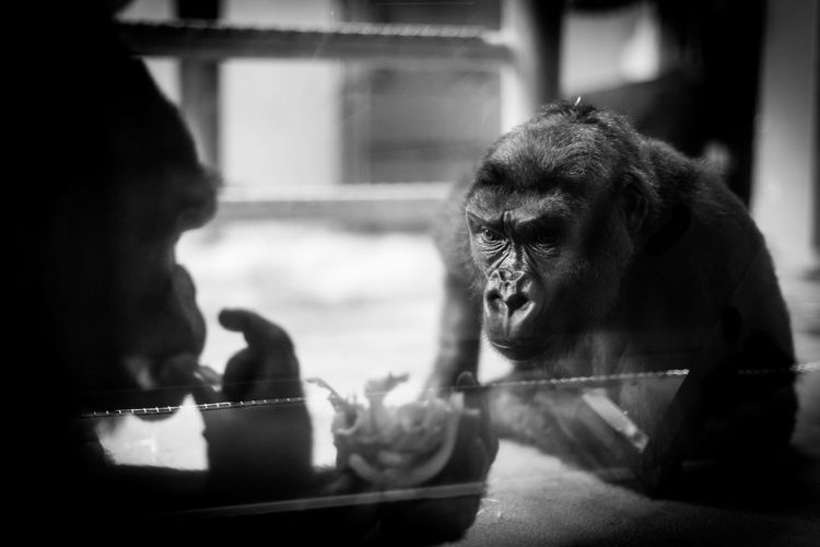 A young western lowland gorilla studies an older male eating. Western Lowland Gorilla Animal Themes Blackandwhite Photography Chimney Endangered Species Gorilla Gorillas Landscape Learning Mammal Monkey Nature Primate Purple Standing