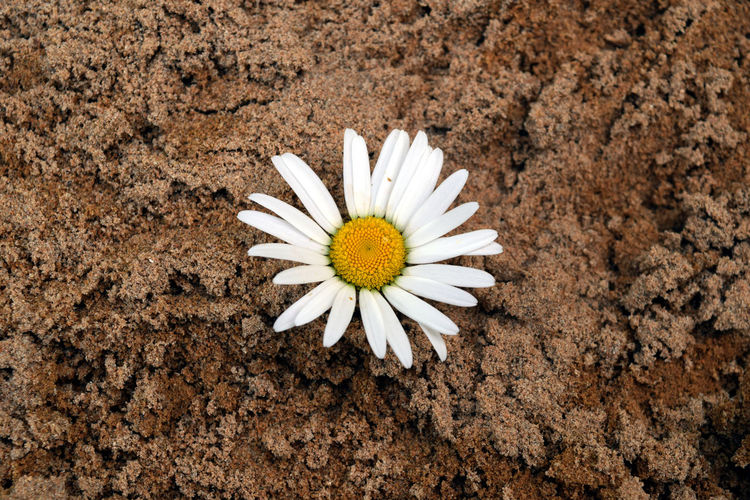 Flower Flowering Plant Freshness Petal Fragility Plant Vulnerability  White Color Flower Head Close-up Inflorescence Beauty In Nature Nature Daisy Growth No People Pollen Dirt Land Sand Chamomile Background Ground Ground Level View Botany