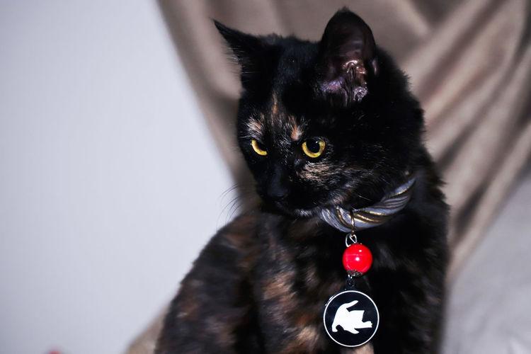 cat Protruding Pets Portrait Dog Collar Looking At Camera Sitting Studio Shot Locket Black Color