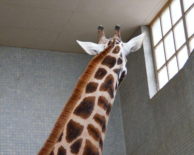 Animal Themes Animal Wildlife Animals In The Wild Giraffe London Zoo Londonzoo Mammal One Animal Zoo ZSL London Zoo
