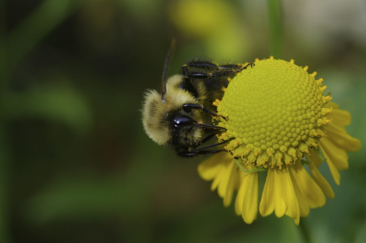 flower, one animal, animal themes, insect, animals in the wild, yellow, nature, fragility, beauty in nature, bee, growth, plant, no people, petal, outdoors, animal wildlife, pollination, close-up, freshness, focus on foreground, day, bumblebee, flower head