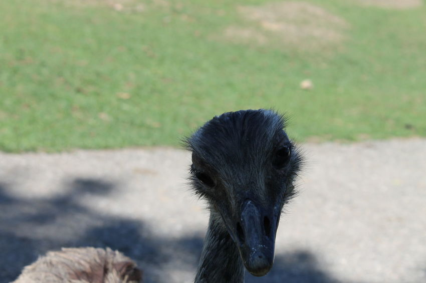 Animal Themes Animals In The Wild Beak Bird Check This Out Close-up Day Enjoying Life Eye4photography  EyeEm Best Shots EyeEm Nature Lover Mammal Nature No People One Animal Ostrich Outdoors Taking Photos