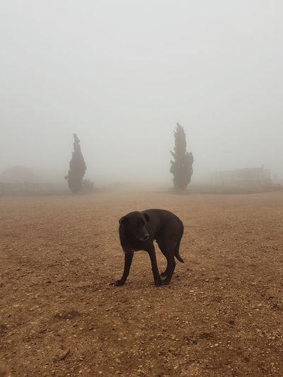 Fog dog Fog