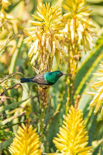 White fronted sunbird enjoying the aloe flower nectar Aloe Flowers Animal Themes Animal Wildlife Animals In The Wild Beauty In Nature Bird Branch Close-up Day Flower Fragility Freshness Green Color Growth Insect Leaf Nature No People One Animal Outdoors Perching Plant Sunbird Tree Walter Sisulu Botanical Gardens
