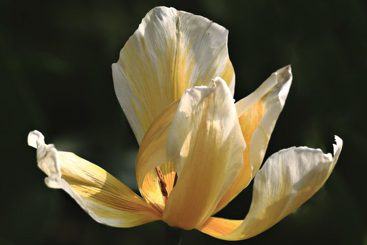 Close-Up Of White Crocus Against Blurred Background