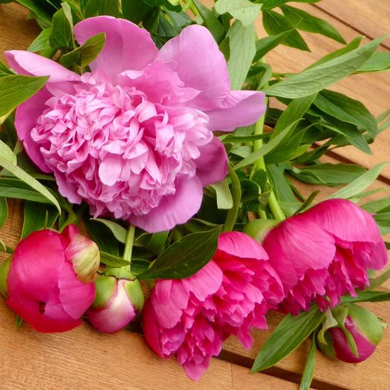 Pink Peonies on a wooden surface. Peonies In Bloom Peonies Bloom Flower Flowering Plant Plant Freshness Pink Color Beauty In Nature Petal Peony  Flower Head Inflorescence Nature Close-up High Angle View