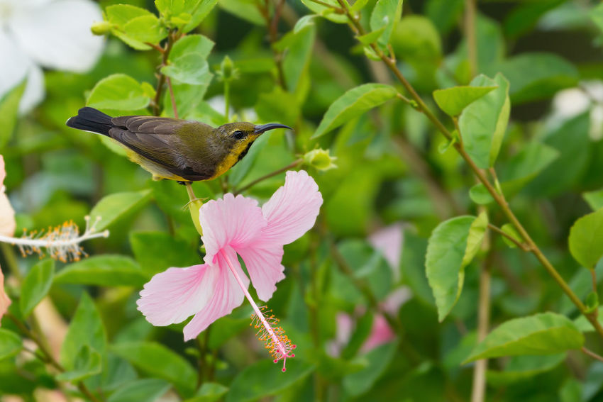 Meet me at the blossom.Sunbird and pink flower. Bird Colourful Drinking Sweet Long Beaked Bird Nature Perching Bird Pink Flower Sunbird