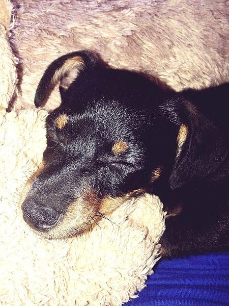 Mini Pincher Dog Dogs Of EyeEm Puppy Love Cute Pets Cute Cute Dog  Luna Puppy Canine Mixed-breed Dog