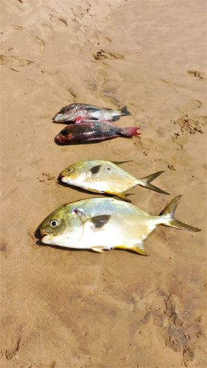 Food And Drink Freshness Animal Themes Beach Close-up Day Fish High Angle View Nature No People Outdoors Sand Sea Life Water