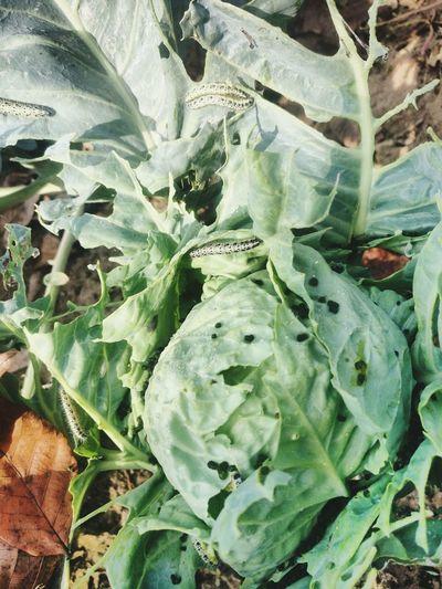 Omida Distroyed Leaf Backgrounds Full Frame Close-up Plant Green Color