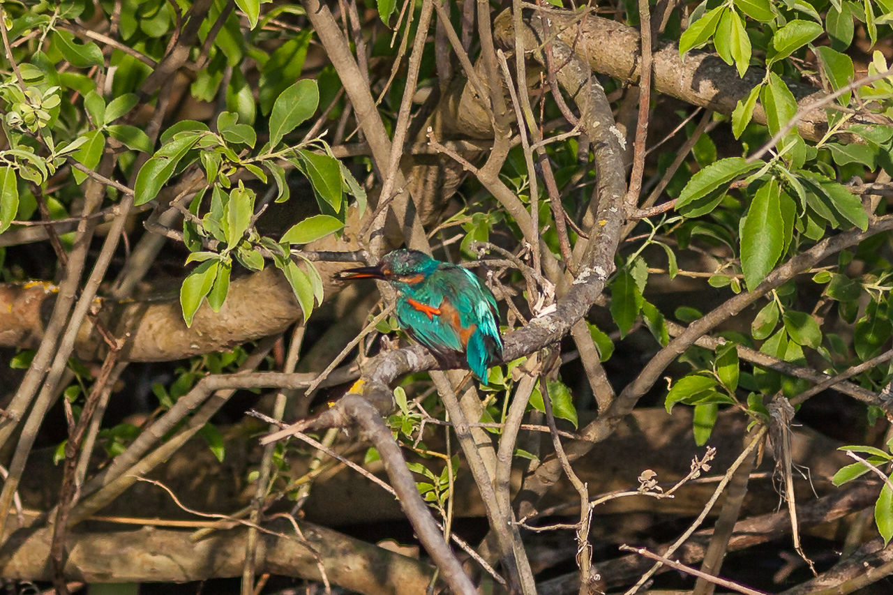one animal, animals in the wild, branch, animal themes, tree, bird, nature, plant, animal wildlife, twig, leaf, outdoors, no people, perching, day, focus on foreground, blue, kingfisher, beauty in nature, close-up