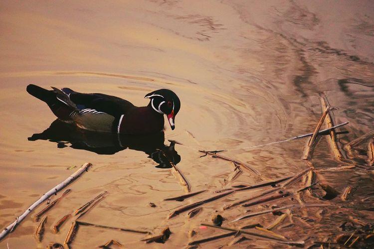 How much would a wood duck duck if a wood duck could duck, and would he duck at all? Wood Duck  Duck Pond ADMIRING Duck Admires Himself Ducking Sunset EyeEm Birds EyeEm Nature Lover