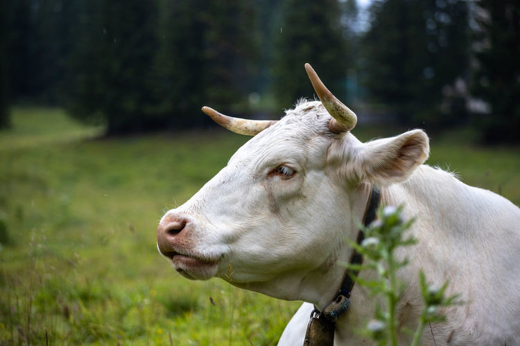 Close-up of cow outdoors
