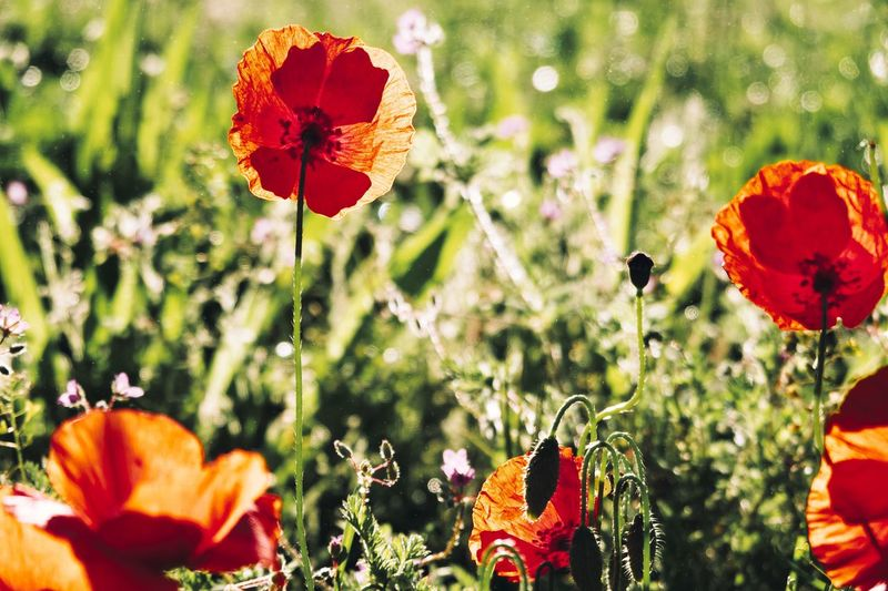 Poppy Flower Flower Flowering Plant Plant Vulnerability  Fragility Beauty In Nature Flower Head No People Close-up Growth Poppy Inflorescence Focus On Foreground Selective Focus Nature Freshness Petal Day Orange Color