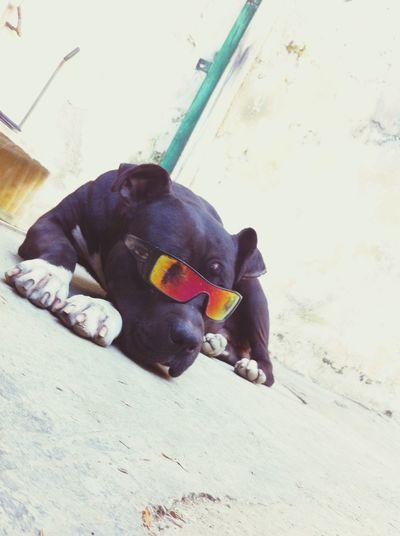 American Dog Tyson Er più 👍