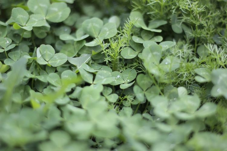 Clover Field Clover Leaf Green Color Natural Light Natural Photography Beautiful Nature Green Leaves Nature Textures Freshness Drops Waterdrops After The Rain