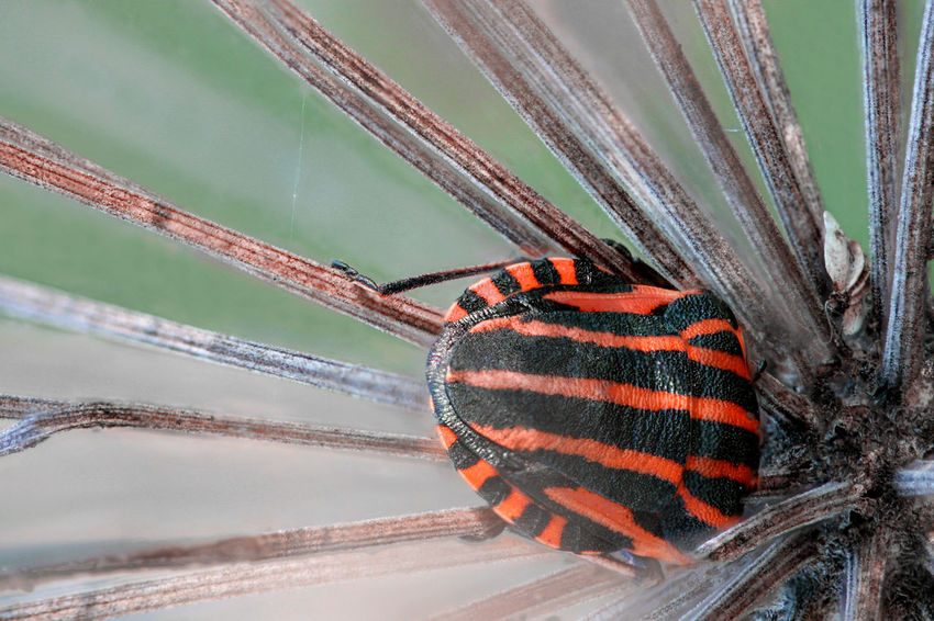 Graphosoma lineatum Bug Graphosoma Lineatum Heteroptera Lithuania Umbelliferae Vivid Animal Apiaceae Arthropoda Close-up Day Entomology Insect Italian Striped Bug Minstrel Bug Nature No People One Animal Outdoors Pentatomidae Red And Black Shield Bug
