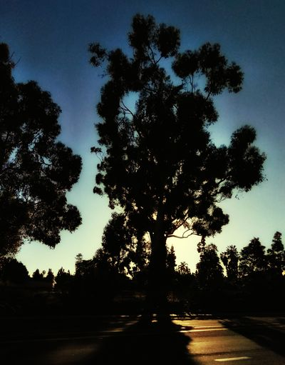 Sunbeam Through The Trees City Golf Course Tree Road Silhouette Sunset Sky Landscape Tree Trunk Bark Streaming Tree Area Growing Woods Pine Woodland Pinaceae Tree Canopy  Bare Tree Fallen Tree Scenics WoodLand Branch Tranquil Scene Treelined Palm Frond Plant Bark