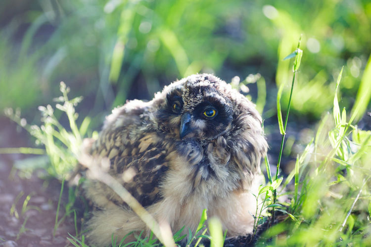 Young owl relaxing Animal Animal Themes Animal Wildlife Animals In The Wild Bird Close-up Day Grass Green Color Land Nature No People One Animal Owl Portrait Young Animal Young Owl