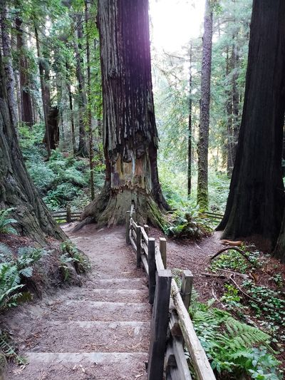 Redwoods Redwood Forest Redwood Trails Sky Moss Countryside Woods Greenery