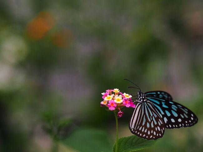 で、久々に昆虫撮りしてたら、いろいろ思い出してきたぞ。NDフィルター買わないと… Insect Butterfly Flower Animal Themes Butterfly - Insect Focus On Foreground One Animal Plant Freshness No People Flower Head Close-up Olympus OM-D E-M5 Mk.II