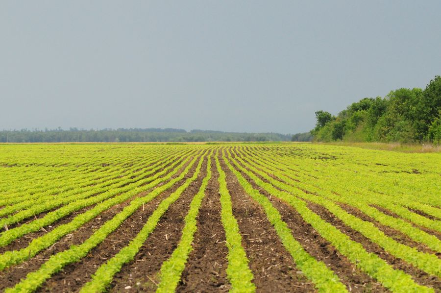 Agriculture Rural Scene Farm Crop  Field Growth Landscape Nature Tree Green Color Vegetable Outdoors Beauty In Nature Tranquility No People Day Cultivated Scenics Sky Plowed Field Be. Ready.