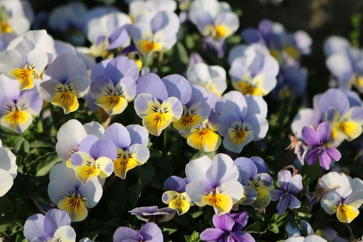 Pansy Flower Viola Tricolor Showcase April 꽃 봄 Spring Flowers Spring 제비꽃