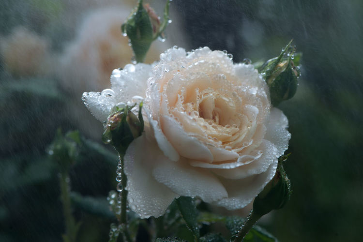 Close-up of rose blooming during monsoon