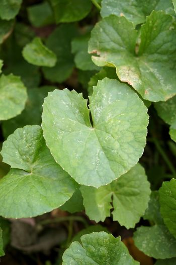 Asiatic Pennywort Beautiful Freshness Green Herb Natural Nature Plant Tree Beauty In Nature Centella Asiatica Close-up Closeup Day Evergreen Foliage Fresh Freshness Freshness Of Flower Garden Gotu Kola Green Color Growth Healthy Eating Herbal Leaf Leaves Nature No People Organic Outdoors Plant Vegetable Water