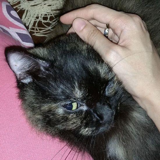 Chomot Cats Instacats Ragamuffin