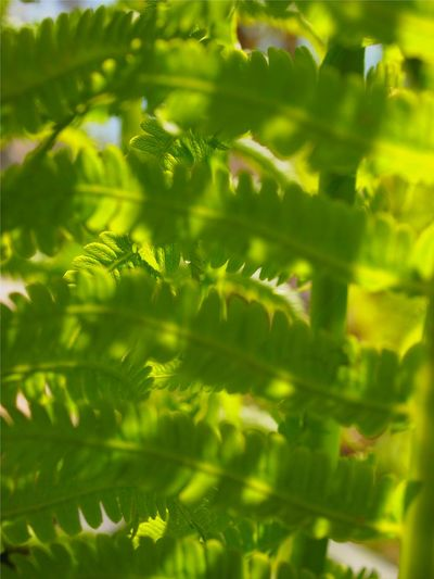 Backgrounds Beauty In Nature Close-up Day Fern Freshness Frond Full Frame Green Color Green Green Green!  Growth Leaf Nature Nature On Your Doorstep Nature_collection Nature_perfection No People Outdoors Plant The Great Outdoors - 2017 EyeEm Awards