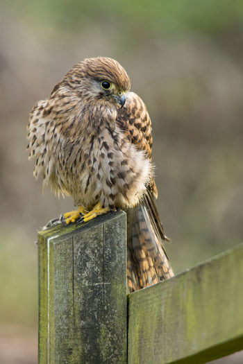 Beauty In Nature Bird On A Post British Bird Of Prey British Birds British Wildlife Countryside Countryside Wildlife European Kestrel Falcon Farmland Birds Farmland Wildlife Gentle Nature KES Kes Pics Kestrel