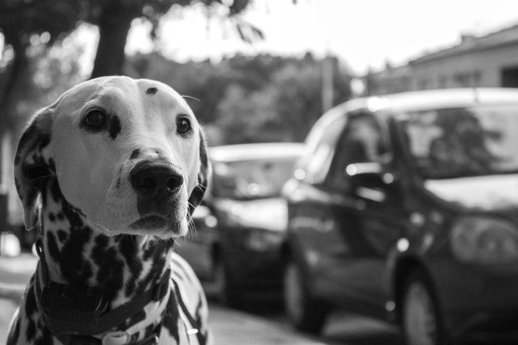 Pongo Dálmata Animal Themes Close-up Day Dog Dog Love Dogs Dogslife Dog❤ Domestic Animals Focus On Foreground Looking At Camera Mammal One Animal Outdoors Perro Perro Time Perros  Perros Por El Mundo Perros❤ Perro❤ Pets Pongo Pongo The Pretty Puppy Dog. Pongour Pongo❤
