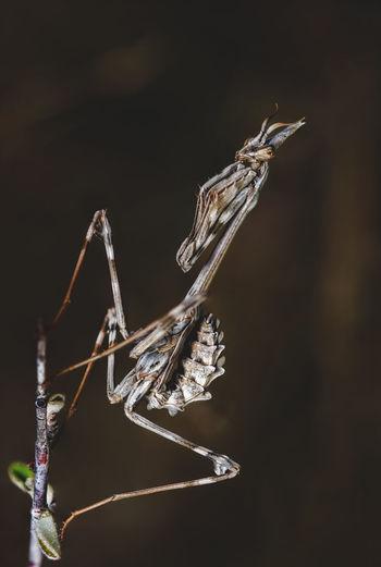 Empusa Close-up No People Invertebrate Animal Focus On Foreground Animal Wildlife Animal Themes Studio Shot Black Background Insect Animals In The Wild Nature Twig Plant Praying Mantis Outdoors One Animal Day Bone  Empusa Pennata