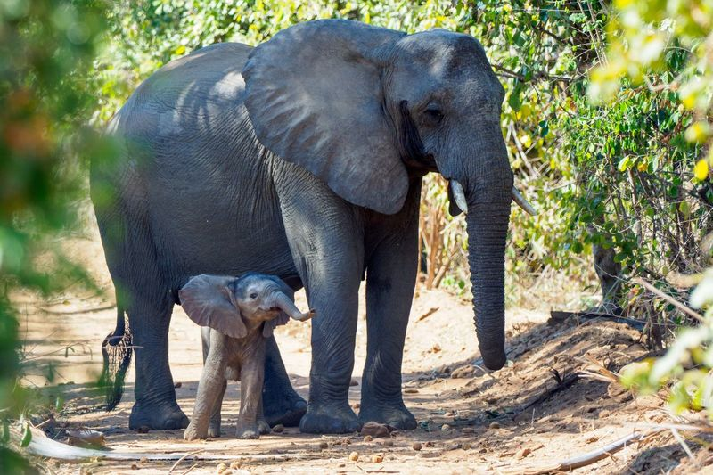Elephant with calf standing at forest