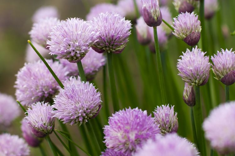 Close-up of onion flowers