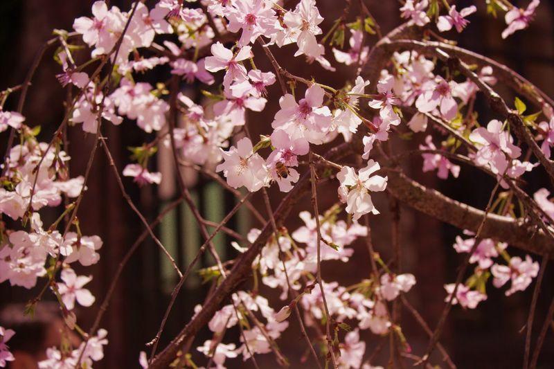 Harajuku Sakura Cherry Cherryblossom 原宿 サクラ 桜 桜花 Canon CanonD600