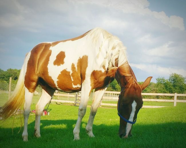 Tennessee walker grazing on grassy field at stable