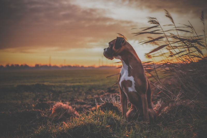 Dog looking away on field during sunset boxer