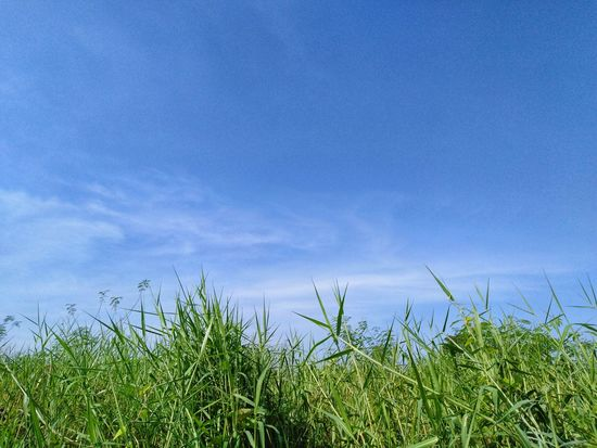 field and bluesky Field Bluesky Blue Sky Blue Sky Skyscraper Sky And Clouds Cloud Cloud - Sky Green Green Color Greensward Plant Garden Nature Natural Blue Sky Grass Green Color Plant Grassland